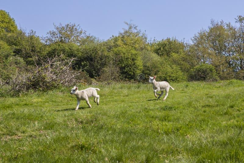 Lammeren bij Slagabdij in Oost-Sussex royalty-vrije stock afbeelding