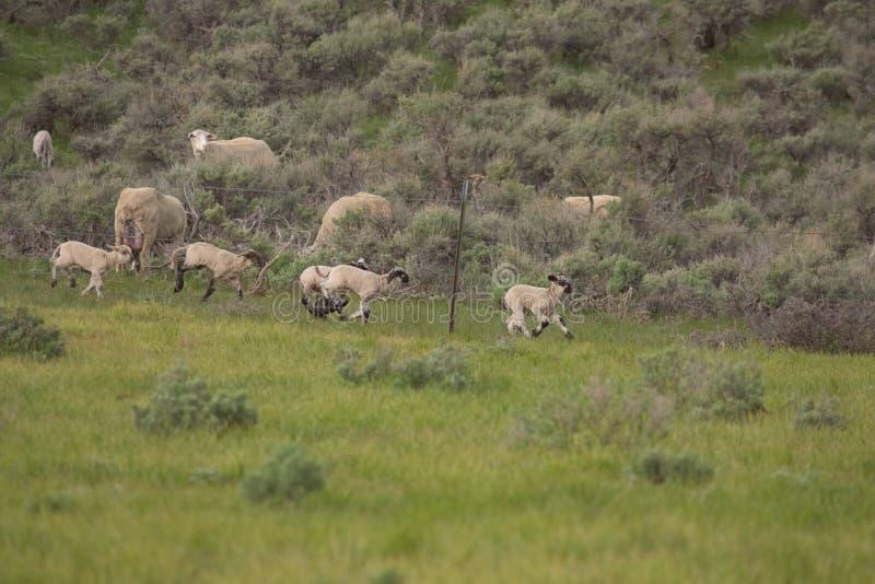 Lammeren die en met Ooien spelen rennen die eruit zien royalty-vrije stock afbeeldingen