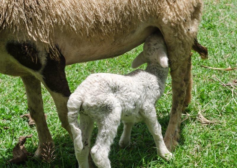 Lammeren die schapenmelk drinken royalty-vrije stock afbeelding