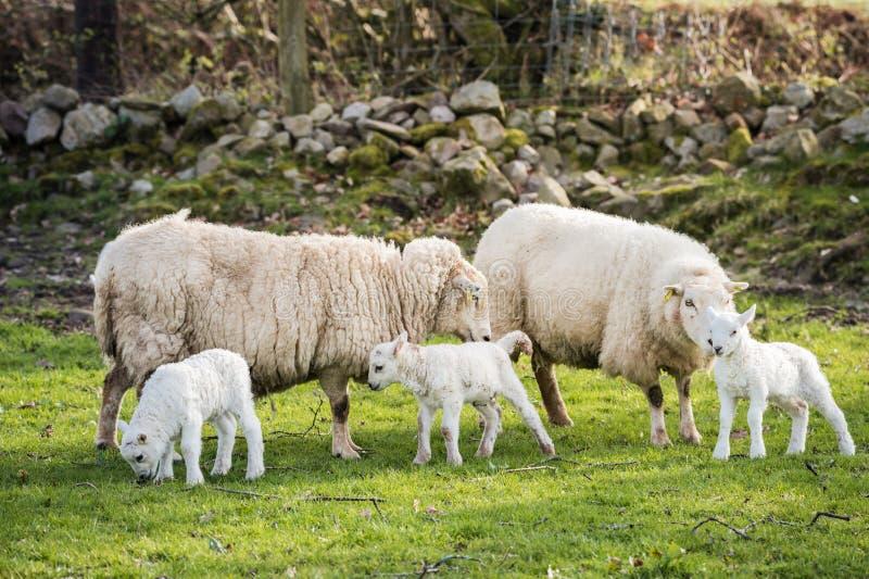 Lammeren en sheeps in platteland, brecon bakens royalty-vrije stock fotografie