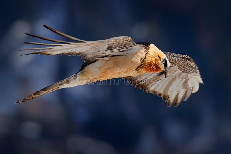Lammergeier o buitre barbudo, barbatus del Gypaetus, p?jaro de vuelo sobre la monta?a de la roca P?jaro raro de la monta?a, mosca fotos de archivo