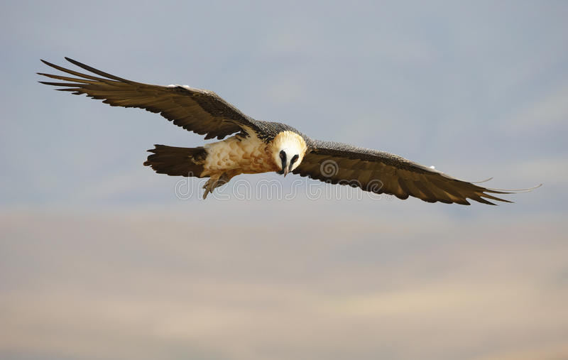 Lammergeyer Or Bearded Vulture Royalty Free Stock Photography