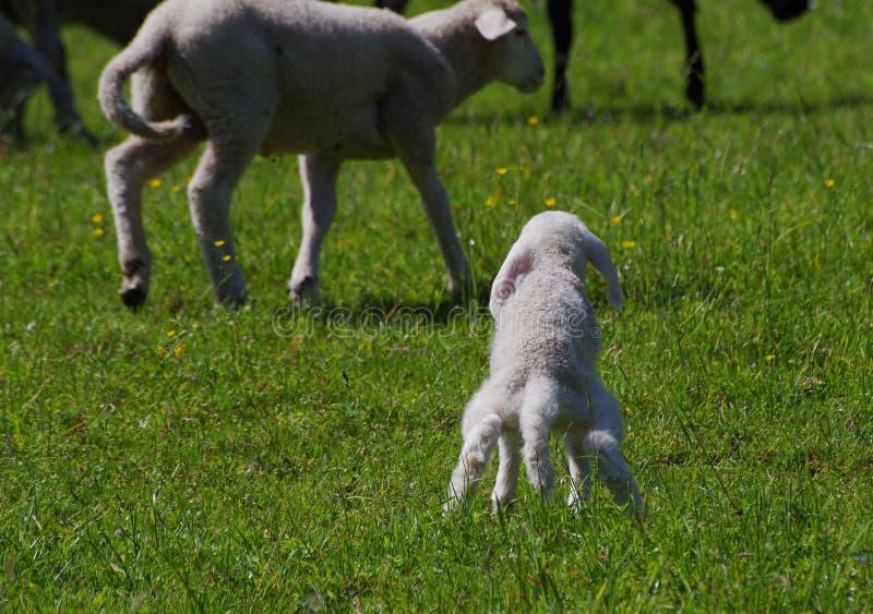 Lammet behöver en kissa royaltyfria bilder