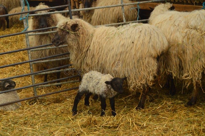 Lammet inom en lantgård som suger av hans moder i den naturliga Gorbeiaen, parkerar Stående för djurnatur fotografering för bildbyråer