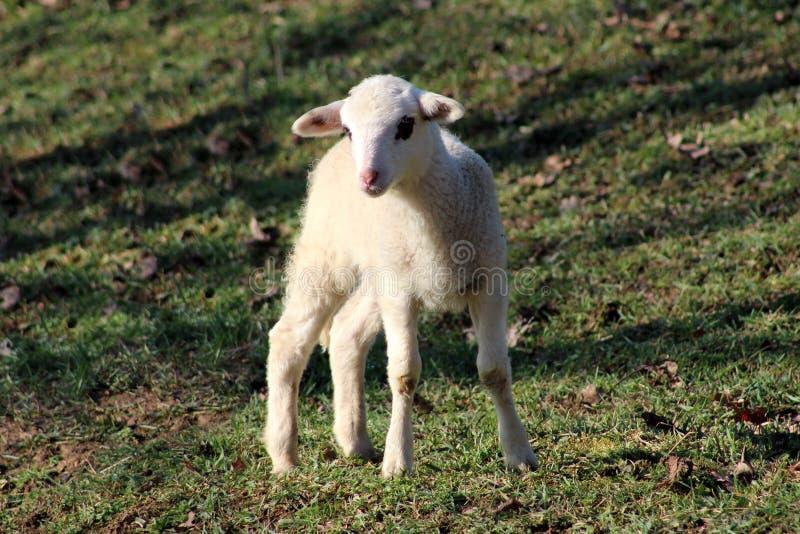 Lammet med blåtiran lappar anseende på grönt gräs royaltyfria bilder