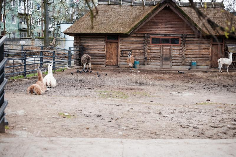Lamor bor i deras aviarium i en utomhus- zoo arkivfoton