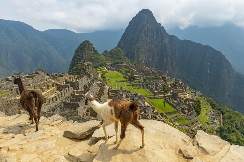 Lamor i Machu Picchu nära Cusco, Peru royaltyfria foton