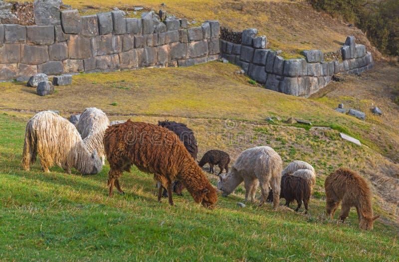 Lamor och Alpacas i Sacsayhuaman, Cusco, Peru royaltyfri fotografi