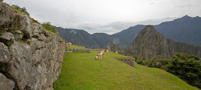 Lamor som betar på Machu Picchu i Peru South America fotografering för bildbyråer