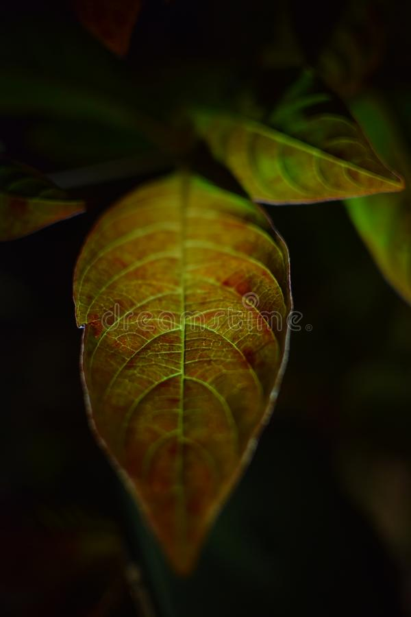 Lamp light on the leaf. Clicked this one in January where I was experimenting with the Manual mode royalty free stock image