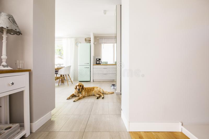Lamp on white cabinet and dog in open space interior with copy s. Pace on the wall. Real photo royalty free stock photo