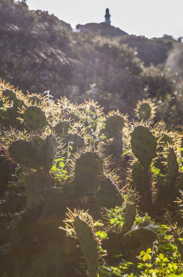 Lampadina del cactus di stricta dell'opunzia con il faro di EL Rompido alla b fotografie stock libere da diritti