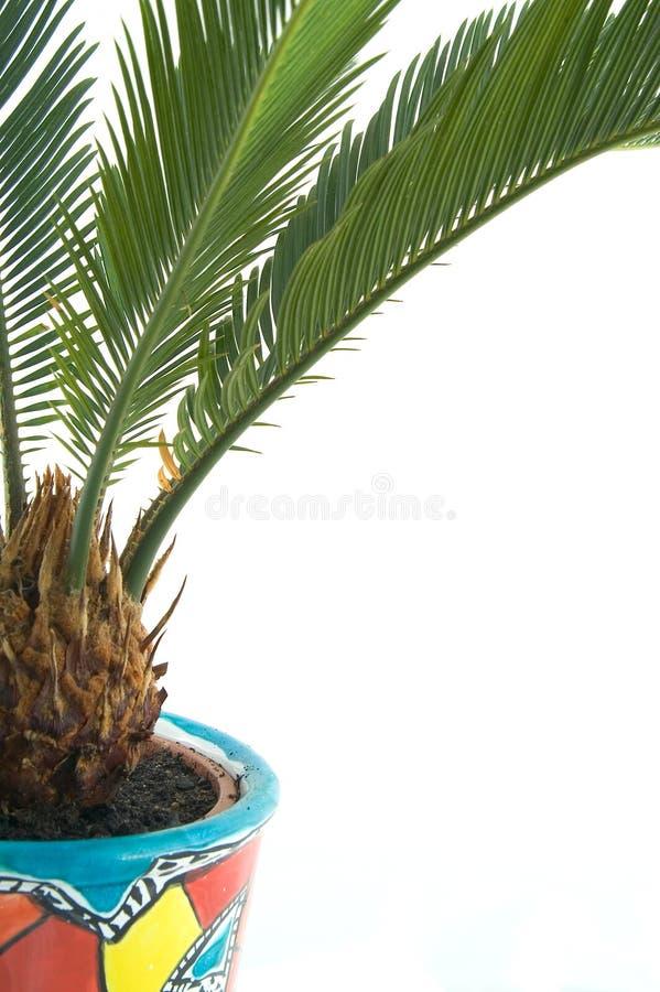 Lampadina del Cycas in un flowerpot immagine stock