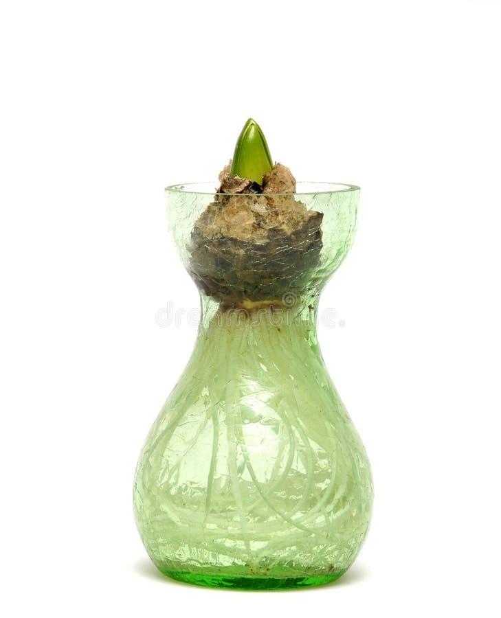 Download Lampadina del giacinto fotografia stock. Immagine di sviluppisi - 3877828