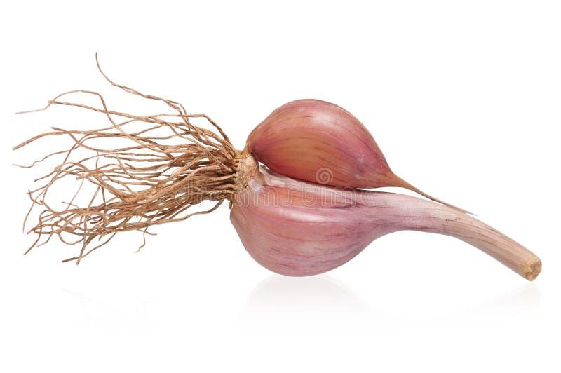Lampadina dell'aglio fotografia stock