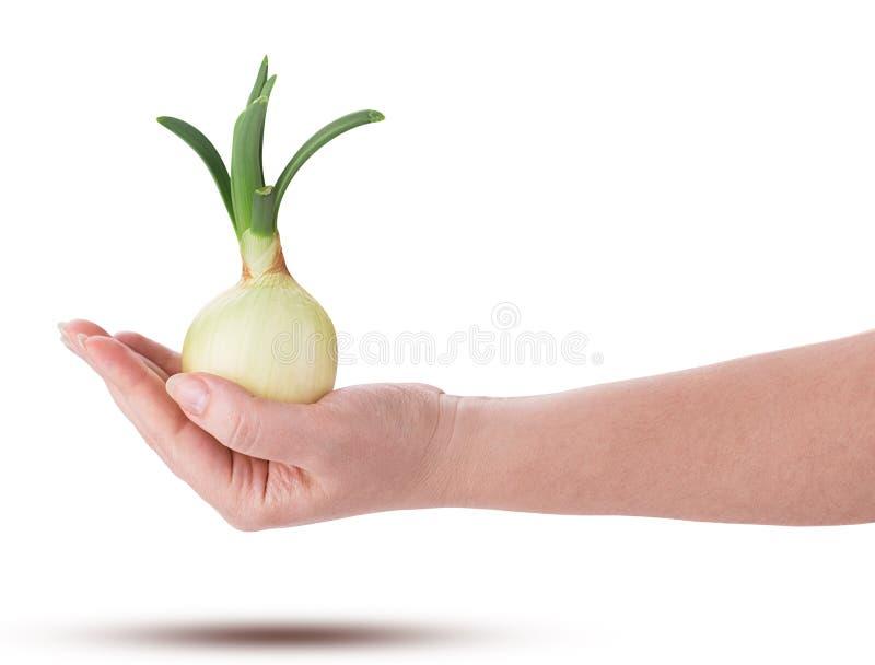 Lampadina germogliata delle cipolle a disposizione fotografia stock