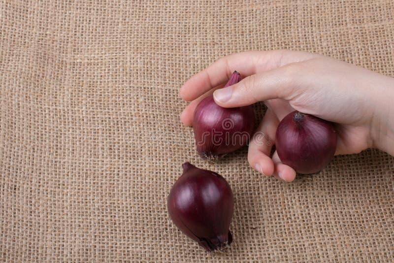 Lampadine della cipolla rossa a disposizione su tela immagine stock libera da diritti