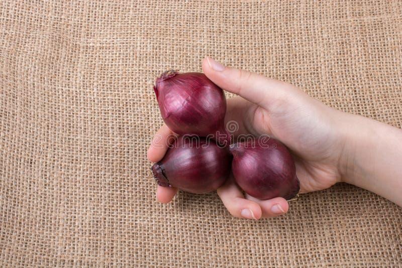 Lampadine della cipolla rossa a disposizione su tela fotografie stock libere da diritti