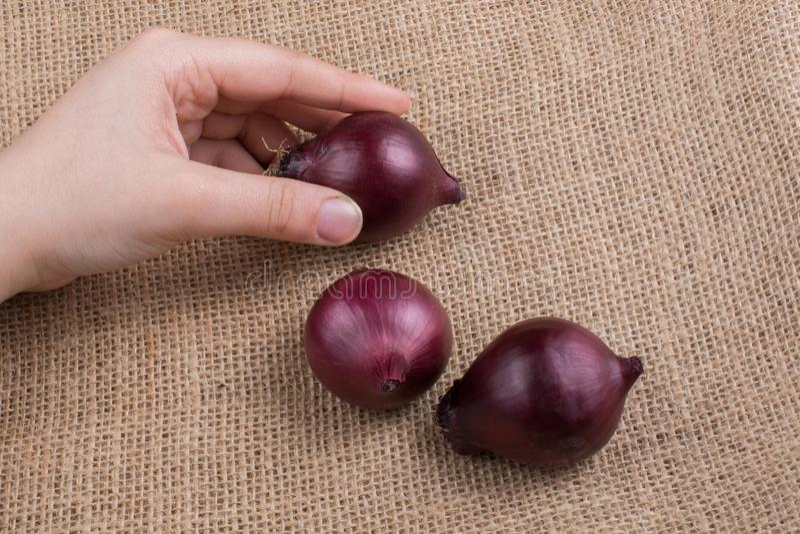 Lampadine della cipolla rossa a disposizione su tela fotografia stock