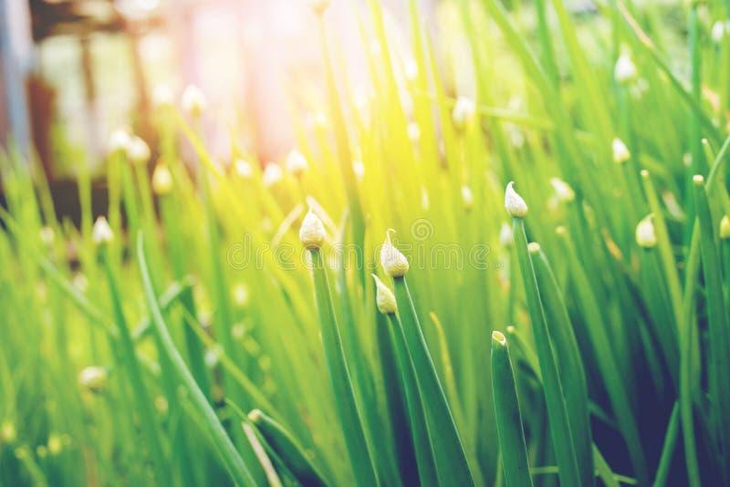 Lampadine della primavera di verde del gruppo delle cipolle sul letto fotografie stock libere da diritti