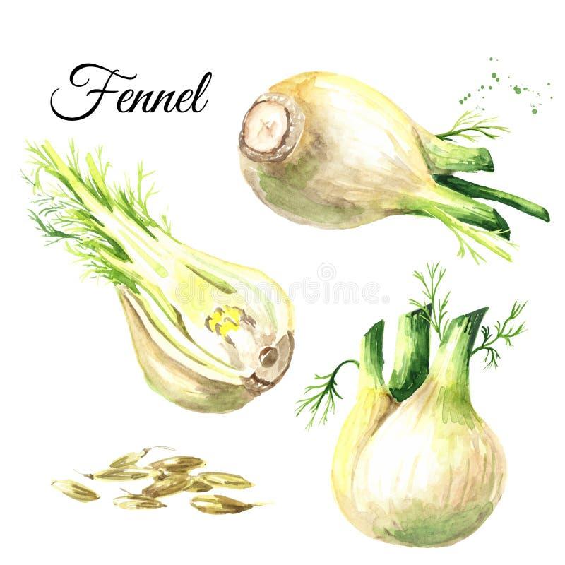 Lampadine fresche del finocchio con l'insieme dei semi e delle foglie Illustrazione disegnata a mano dell'acquerello isolata su f illustrazione vettoriale