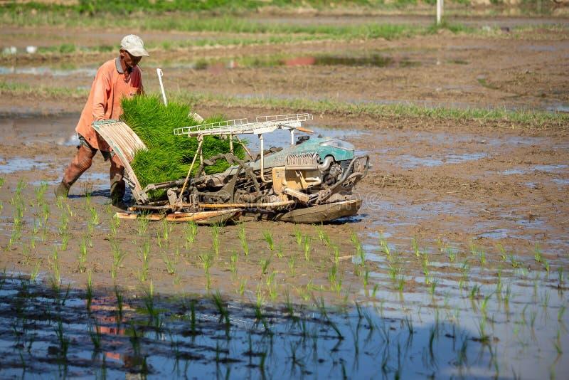 LAMPANG TAJLANDIA, Lipiec, – 16, 2019: Rice uprawia ziemię Tajlandzkich rolników zasadza ryżowe rozsady w polu obraz royalty free