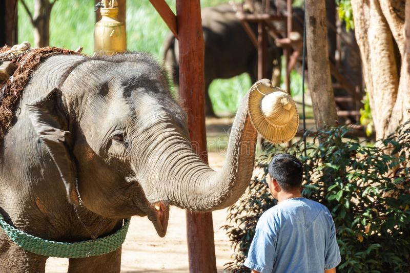 LAMPANG, THAILAND - Dec 24, 2018:- The Thai Elephant Conservation Center TECC, Mahouts show how to train an elephant. Train elephants to wear a hat for men royalty free stock photography