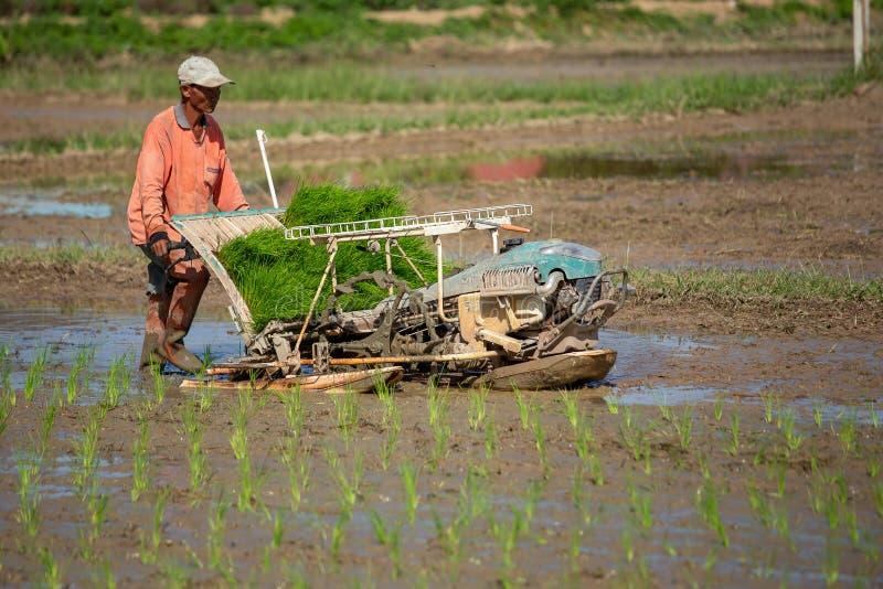 LAMPANG, THAILAND – 16. Juli 2019: Reis, der thailändische Landwirtbetriebsreissämlinge auf dem Gebiet bewirtschaftet stockbilder
