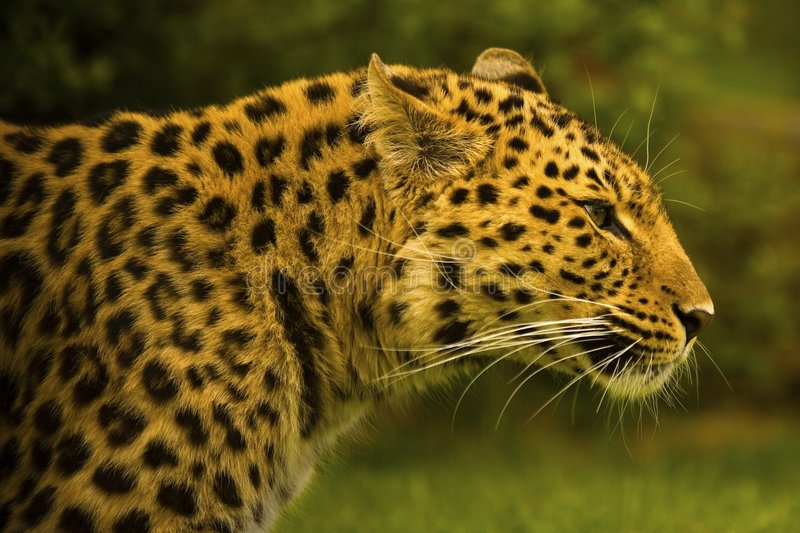 lampart amurski fotografia royalty free