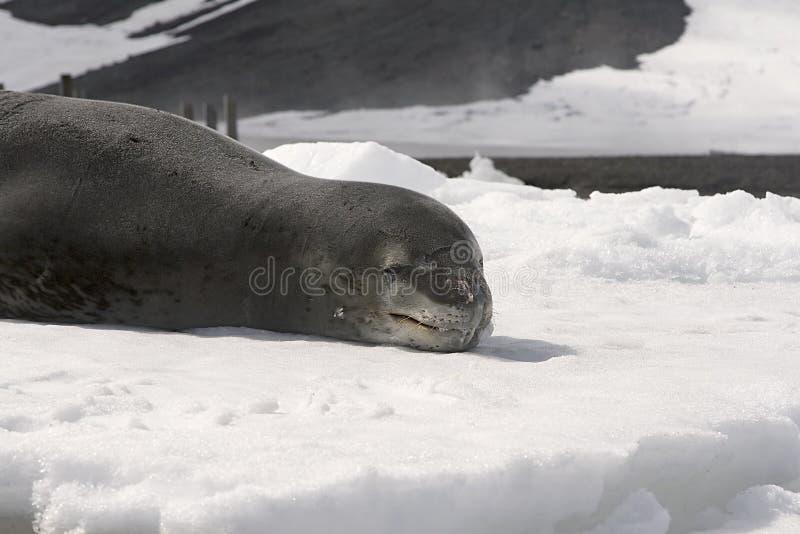Download Lampart foka zdjęcie stock. Obraz złożonej z antarctic - 10519520