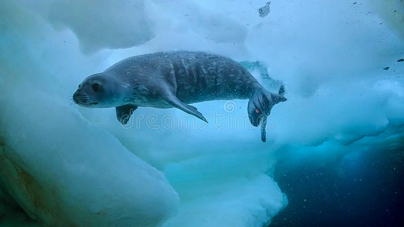 Lampart foki Hydrurga leptonyx, Antarktyczny półwysep zdjęcia royalty free