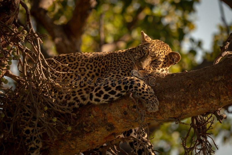 Lampart kłama sleepily na gałęziastej kręcenie głowie fotografia royalty free