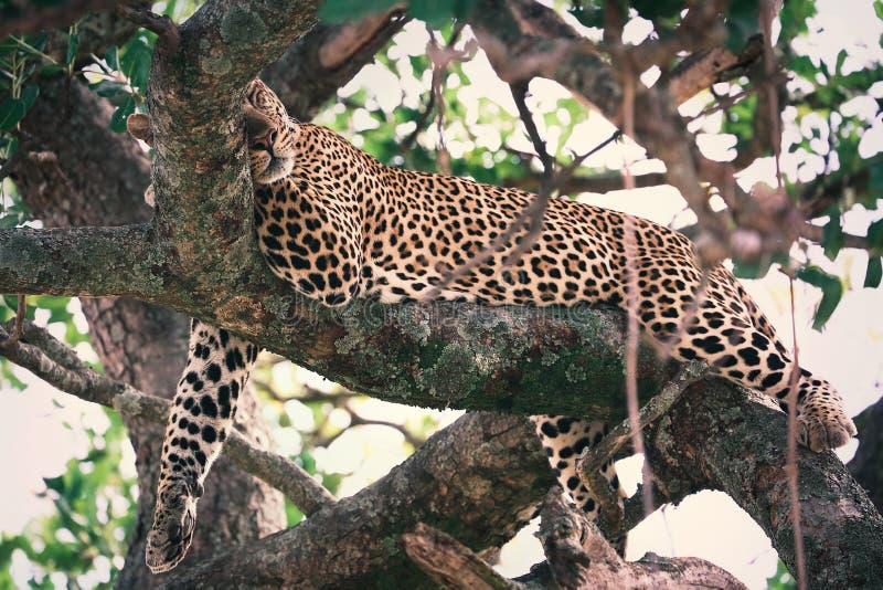 Lampart odpoczywa dalej przy drzewem w Kenja, Masai Mara obrazy royalty free