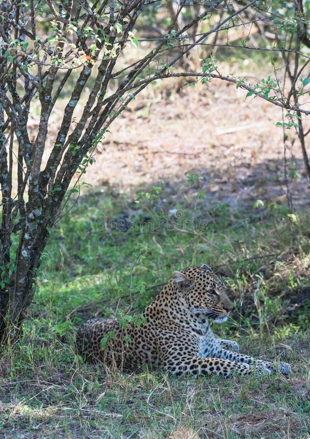 Lampart odpoczywa w cieniu drzewa Kenja, Afryka fotografia stock