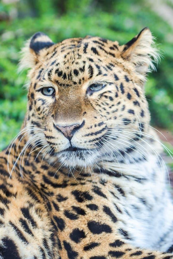 Lampart, pantera zdjęcie stock