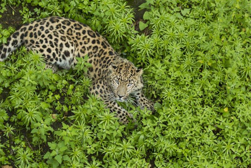 Lampart patrzeje w kamerze na trawie fotografia royalty free