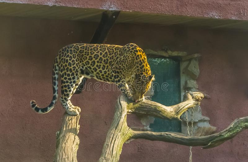 Lampart pozycja na dwa drzewnych bagażnikach, duży dziki kot od Afryka, Podatny zwierzęcy specie fotografia royalty free