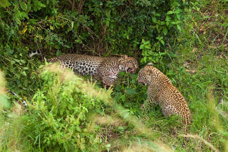 Lampart przy Masai Mara parkiem narodowym obraz stock