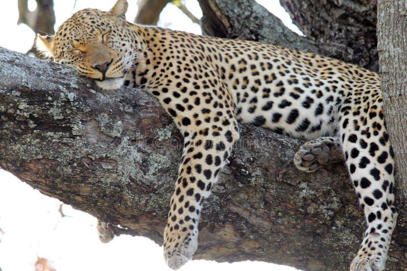 Lampart uśpiony w drzewie obraz royalty free