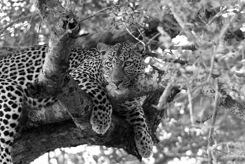 Lampart w drzewach zdjęcie stock