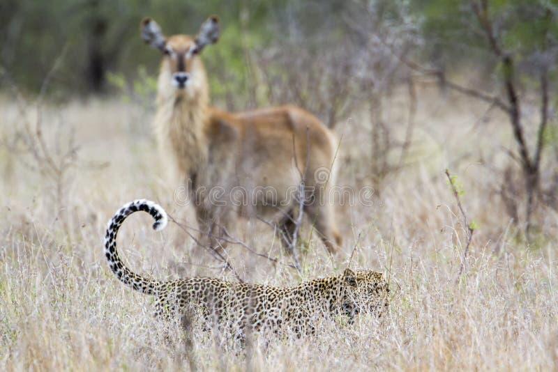 Lampart w Kruger parku narodowym, Południowa Afryka zdjęcie royalty free