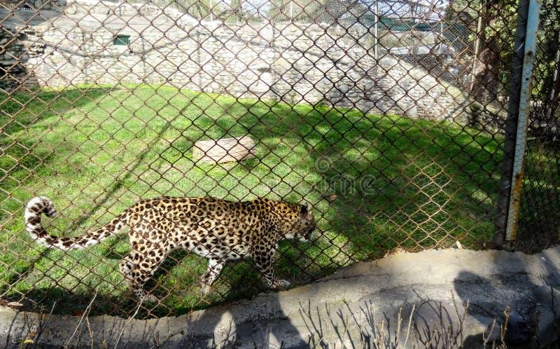 Lampart w zoo szale w chatver zoo Chandigarh zdjęcia stock