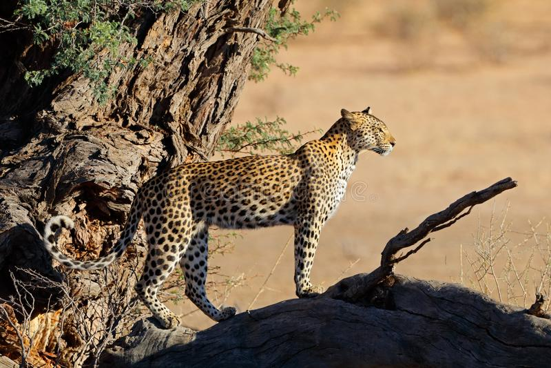 Lamparta dopatrywanie od drzewa fotografia stock