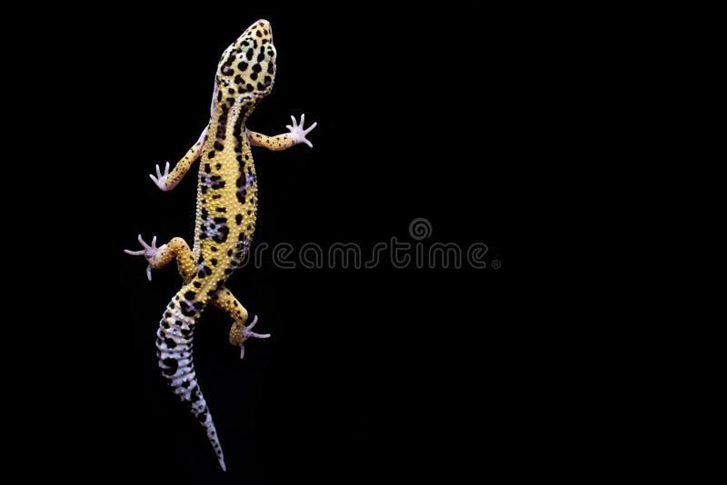 Lamparta gekon na czarnym tle Odgórny widok zdjęcie royalty free