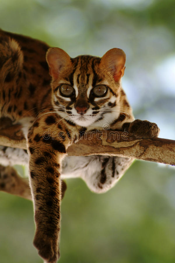 Lamparta kot, Felis Bengalennsis, Sarawak, Malezja zdjęcia stock