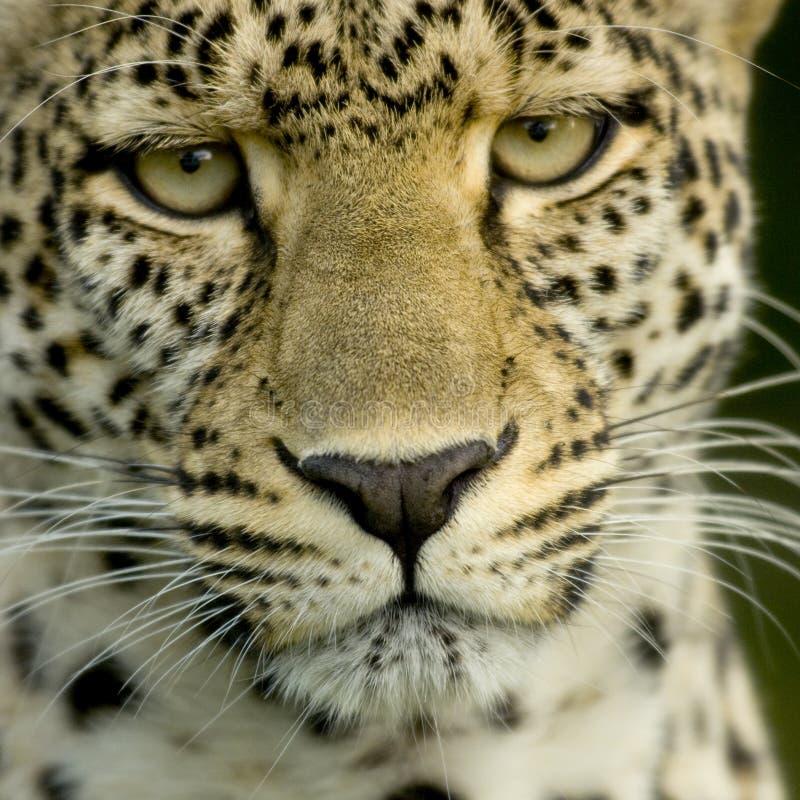lamparta krajowej rezerwy serengeti zdjęcia stock