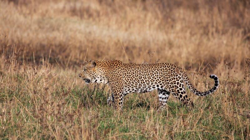 Lamparta odprowadzenie w trawie, Kenja obrazy royalty free