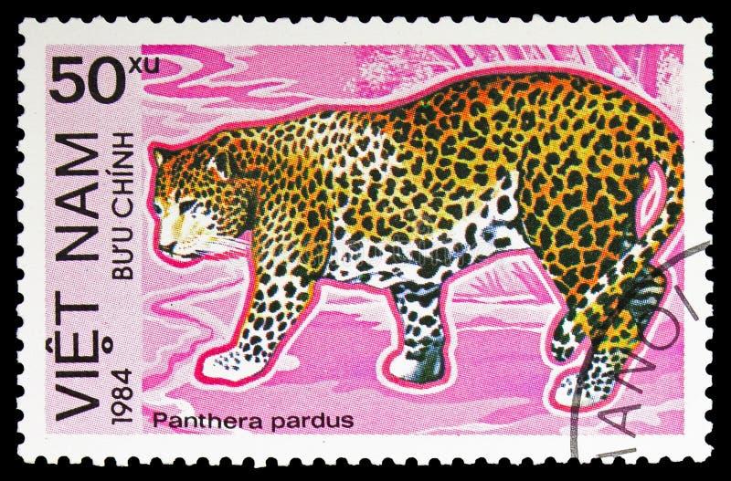 Lamparta Panthera pardus, Zagrażający zwierzęcia seria około 1984, fotografia royalty free