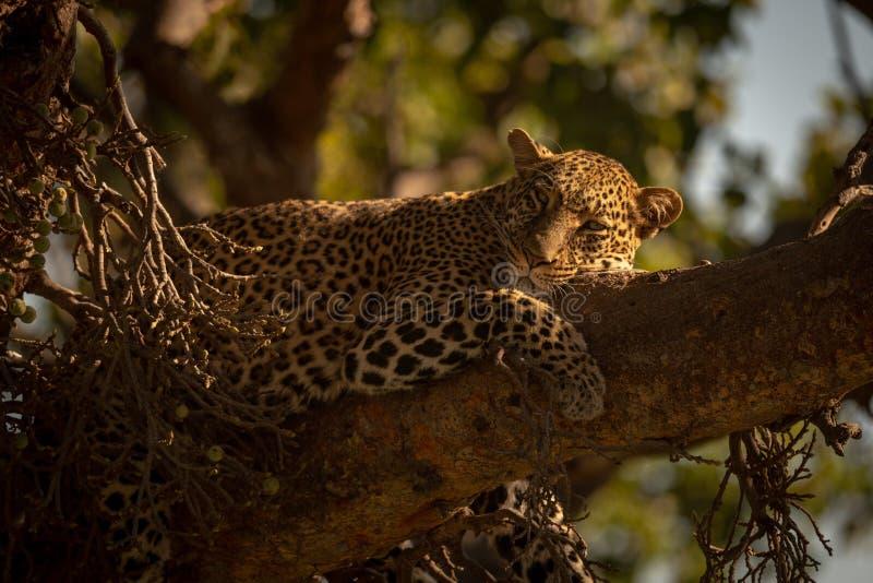 Lamparta spadać uśpiony na gałąź drzewo zdjęcie royalty free