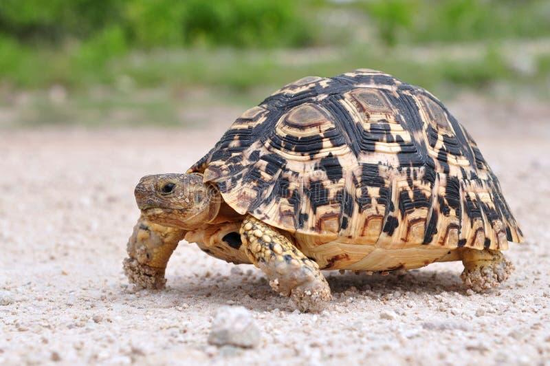lamparta tortoise zdjęcia royalty free